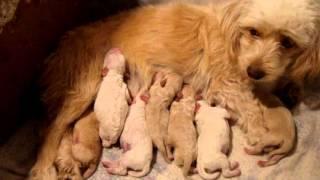 Primer Parto De Muñeca (poodle Con Terrier)