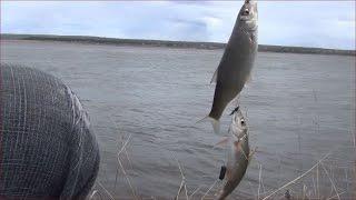 Рыбалка на рыбу елец 7 мая 2017 год река Енисей. Секреты ловли рыбы елец. Рыбалка видео. Рыбаки