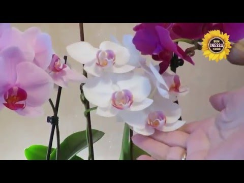 Как продлить цветение орхидеи. Blooming orchid.
