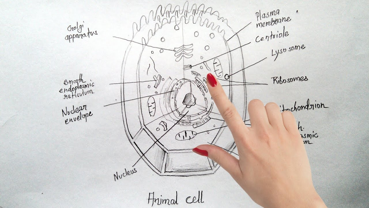 how to draw animal cell step by step tutorial for beginners  [ 1280 x 720 Pixel ]
