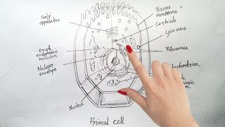How to draw Animal cell step by step tutorial for beginners !