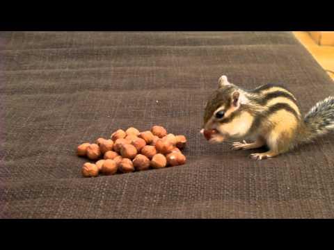 Combien de noisettes peut transporter un écureuil ?