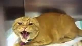 самый злой кот в мире! Очень смешное видео!