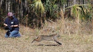 Wild bobcat runs free 360 vr