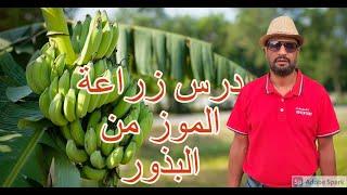 طريقة زراعة الموز في المنزل الجزء الأول