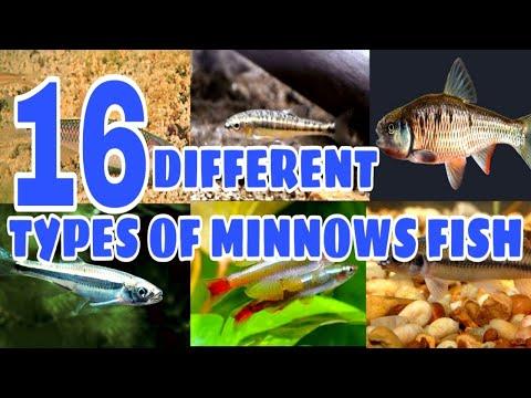 Types Of Minnows Fish | Prathmesh Aquatics