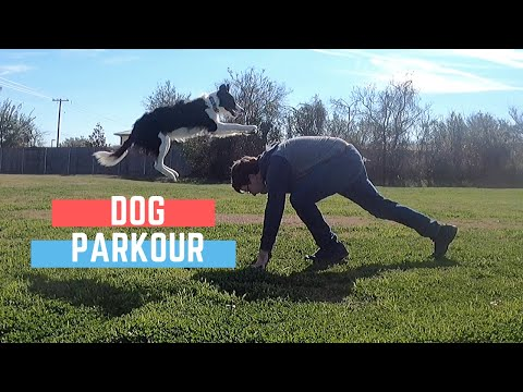 Parkour Dog Does Amazing Dog Tricks