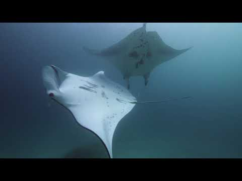 We Just Learned Manta Rays May Have Surprisingly Close 'Friends' They See Regularly