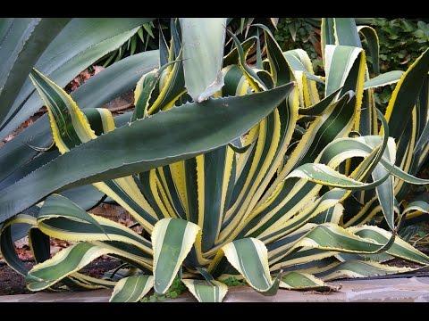 АГАВА – неприхотливое комнатное растение. Фото, виды, уход и размножение