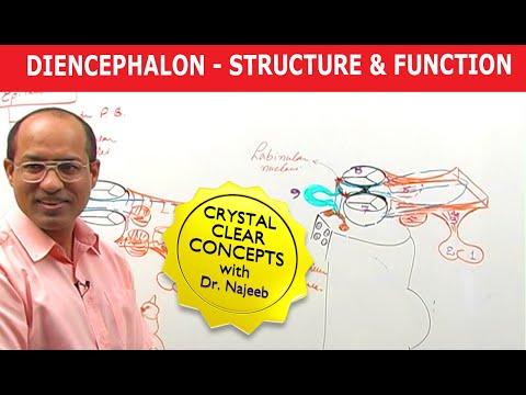 Diencephalon - Structure & Function - Neuroanatomy