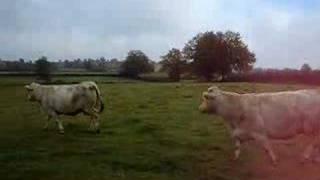 vaches qui retrouvent la liberté