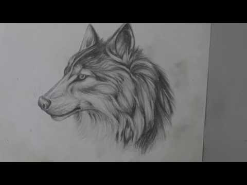 Pencil Drawing of a Wolf - Long Version