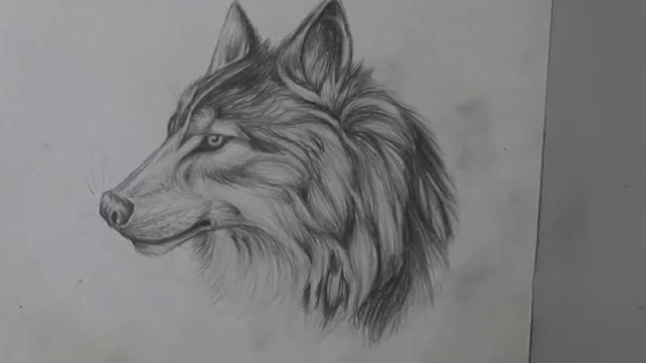 Pencil drawing of a wolf long version