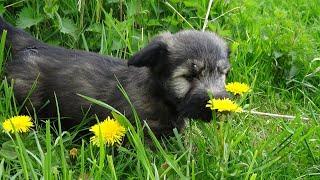 Skye Terrier puppies  born 2021/03/ part V.