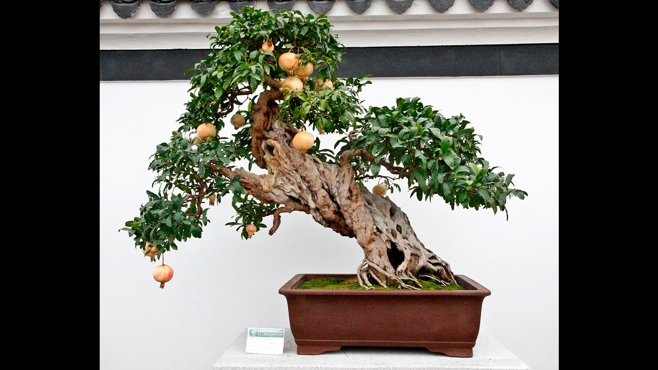 Specific Bonsai care guidelines for the Pomegranate - YouTube