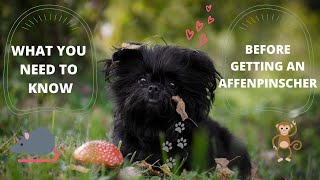 Getting To Know Your Dog's Breed: Affenpinscher Edition