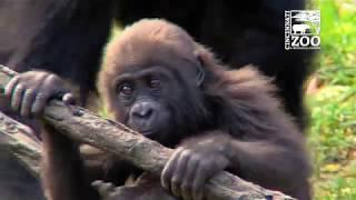 Gorilla Gladys - Raised By Human Surrogates -Turns 5 - Cincinnati Zoo