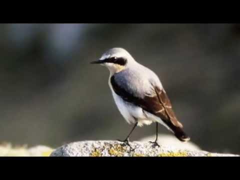 Wheatear Bird call Bird song
