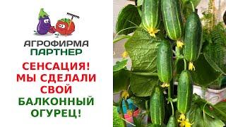 СЕНСАЦИЯ - МЫ СДЕЛАЛИ СВОЙ БАЛКОННЫЙ ОГУРЕЦ!