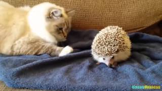 Gatos conociendo Animales 2015 [HD]. Gatos jugando con caballos, conejos, erizos, buhos, perros....