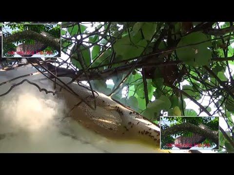 Mật ong rừng Hiệp Đức - lấy mật trực tiếp