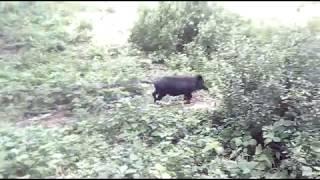 Bush Pig Bulungula