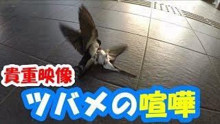ツバメの喧嘩 遠州スリースターズ https://www.youtube.com/channel/UCd...