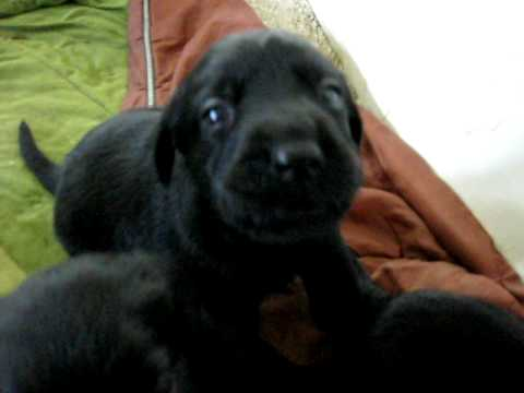 Black lab puppy barking and growling