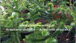 Araukaria Chilijska uprawa  forum ogrodnicze ciekawe rośliny