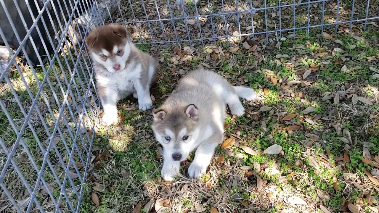 Christmas Husky Puppies