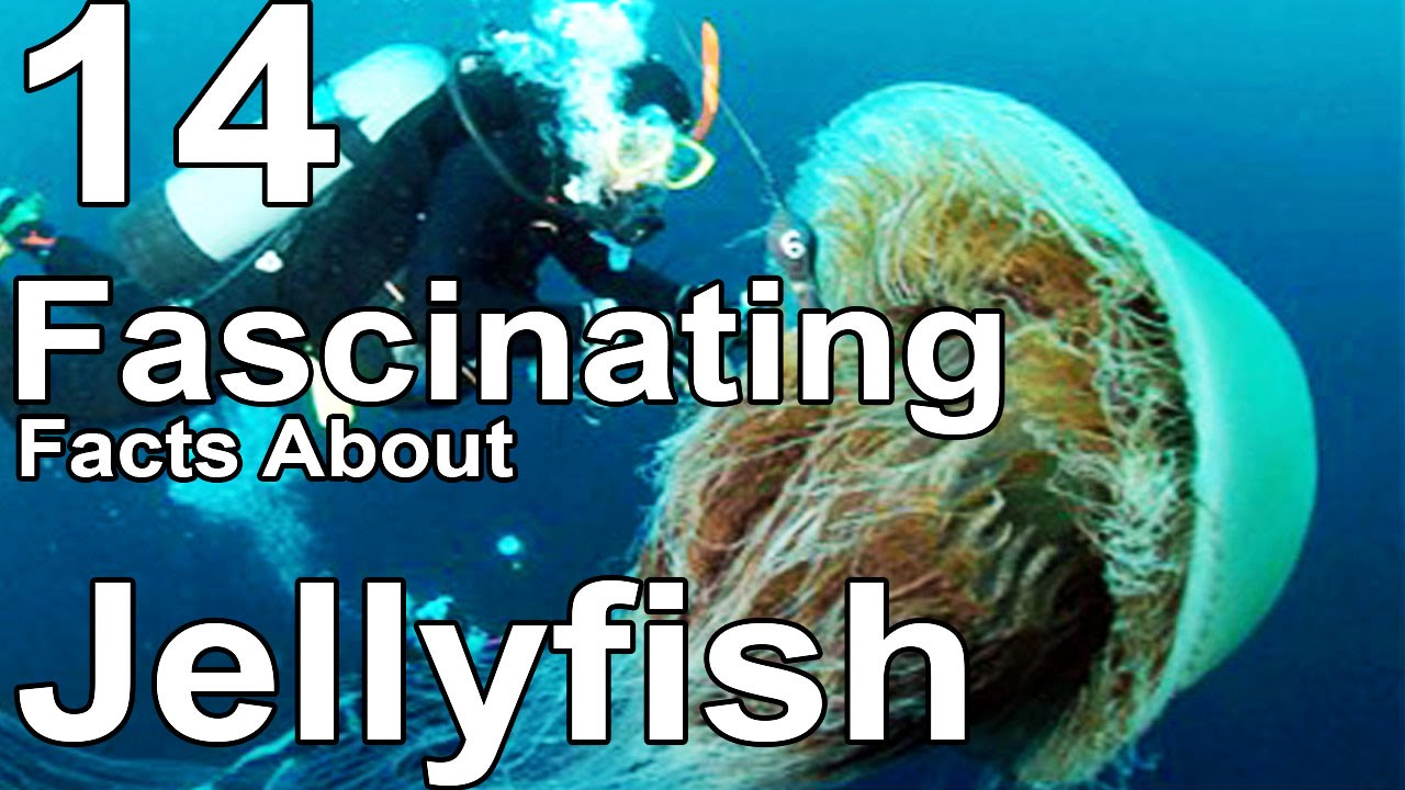 14 Fascinating Facts About Jellyfish  Doovi