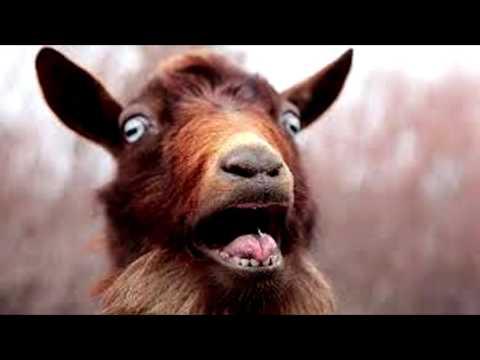 Screaming Goat Free Ringtone Downloads