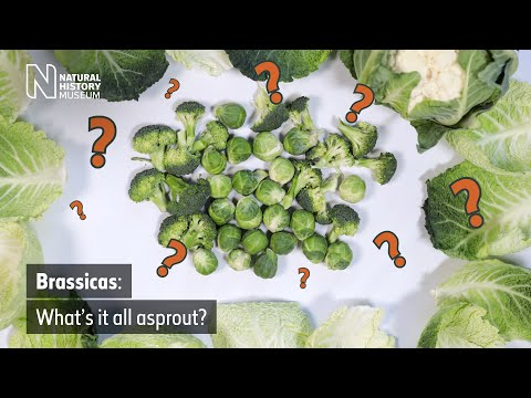 Brassicas: what's it all asprout? | Natural History Museum