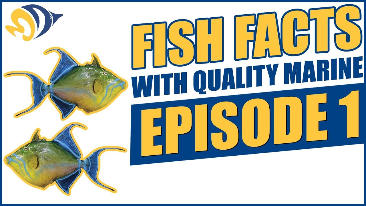 fish facts with quality marine episode 1 reef safe triggerfish