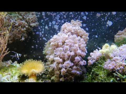 Еще пара слов об освещении морского аквариума. Ксения как индикатор.