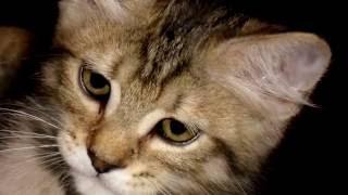 Порода кошек. Пиксибоб. Добрая и нежная кошка.Очарование природы