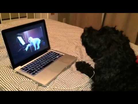 Cute dog singing (Cockapoo)