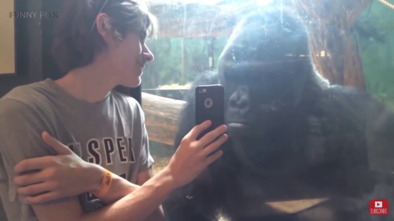 Download Funny Gorilla fails!! (HD QUALITY)