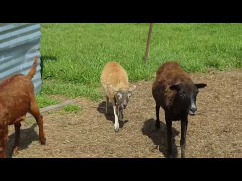 farm-raised-goats,-lamb,-chickens,-turkeys-and-ducks-near-dallas,-tx-in-greenville