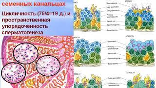 Мужская половая система. Видео лекция С.М.Зиматкин (26)