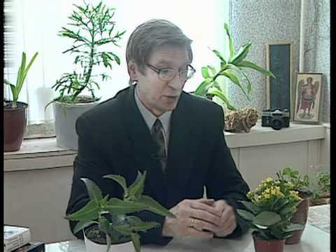 Цветок каланхоэ Каландива, Блоссфельда. Уход за каланхоэ