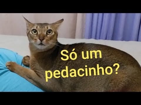 Gatinha pedindo comida | Abyssinian Cat begging for food😸 (Cute)