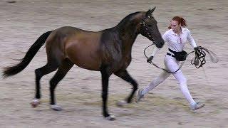 Чистокровный ахалтекинский жеребец Магеллан /Ахалтекинская порода лошадей #ИППОсфера 2018 #AkhalTeke