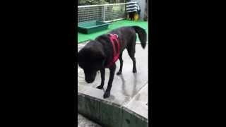 甲斐犬ヒメ♀の犬生二度目のプール!! お水は苦手で顔をつけるのを嫌が...