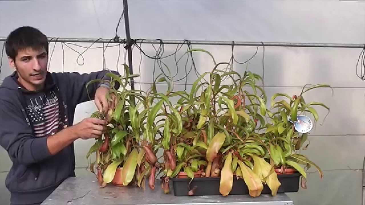 Carniplant plantas carn voras cuidados de nepenthes en - Plantas de navidad cuidados ...