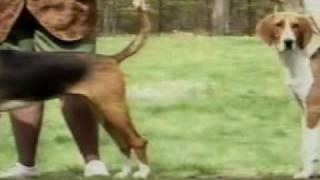 Adoptii caini de rasa American Foxhound http://www.adoptiicaini.ro/...