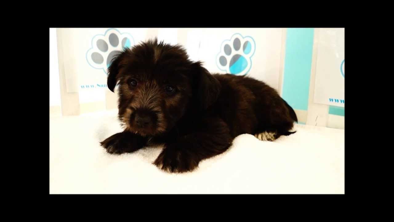 skye terrier for sale skye terrier puppies for sale youtube 4069