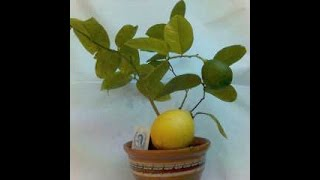 Лимон. Черенкование цитрусовых. Как вырастить лимон?(Размножение цитрусовых черенками. Как вырастить дерево лимона у себя на подоконнике? Комнатный лимон...., 2015-08-28T04:16:03.000Z)