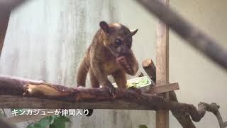 沖縄県名護市のネオパークオキナワに珍獣キンカジューが仲間入り。クリ...