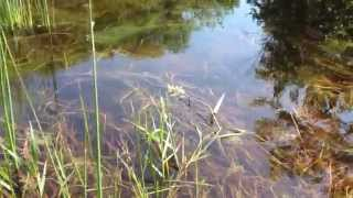 Video Toadally Toads!  Catching Tadpoles and Baby Toads in Our Yard! download MP3, 3GP, MP4, WEBM, AVI, FLV Oktober 2018